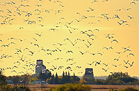 Grain elevators and geese at sunrise<br /> Domremy<br /> Saskatchewan<br /> Canada