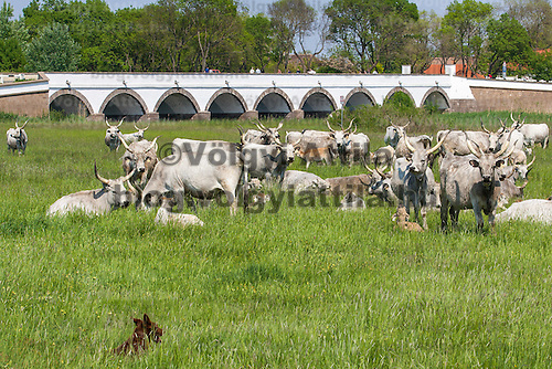 Grey cattles lie in front of the famous bridge with nine holes in the Great Hungarian Plain (Puszta) in Hortobagy, 200 km (124 miles) east of Budapest April 30, 2011. Every spring around St. George's Day, Hortobagy celebrates the beginning of the new grazing season. ATTILA VOLGYI