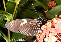 0101-0915  Heliconius Butterfly, Heliconius spp. © David Kuhn/Dwight Kuhn Photography