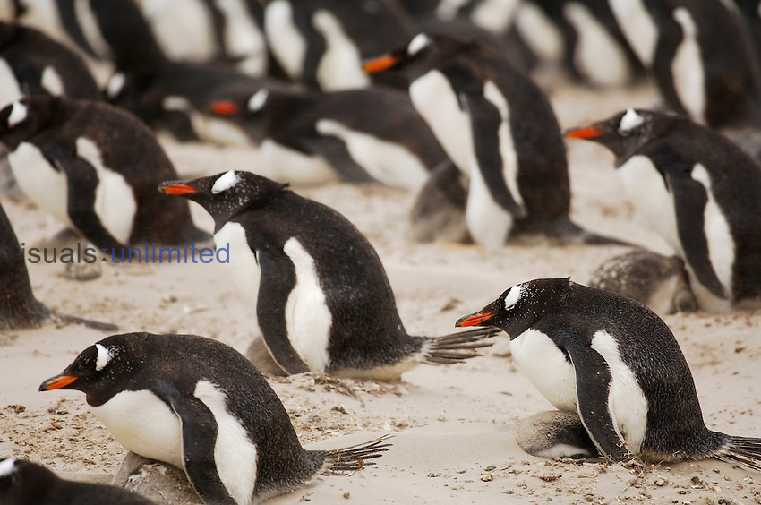 Adult Gentoo Penguins (Pygoscelis papua) provide shelter for their chicks when stormy winds whirl up the sand in the rookery, Falkland Islands.