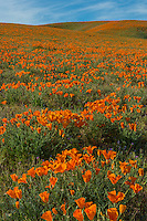 California poppies cover the rolling hills near the Antelope Valley California Poppy Reserve.  March.