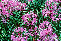 Nerine bowdenii pink flowering perennial bulb
