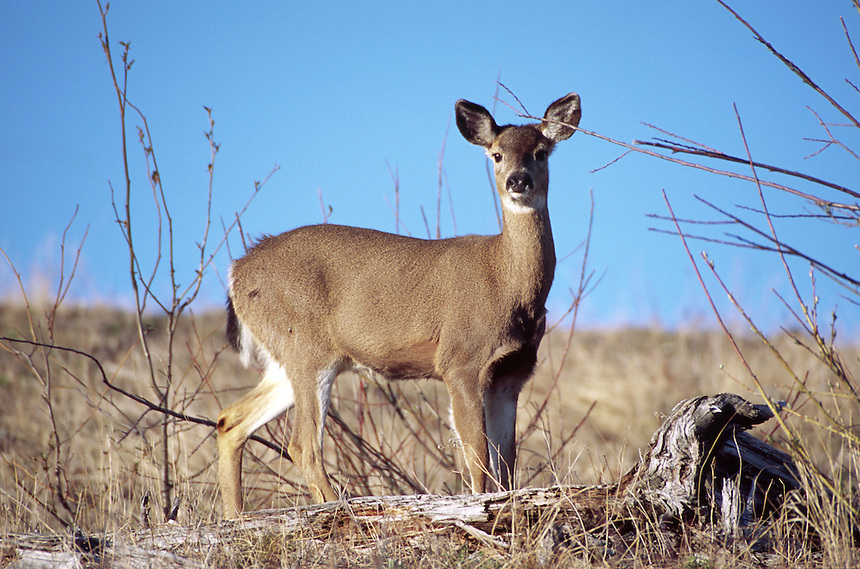 Columbia black-tailed deer (Odocoileus hemionus), Mt. St. Helens National Volcanic Monument, Washington, US