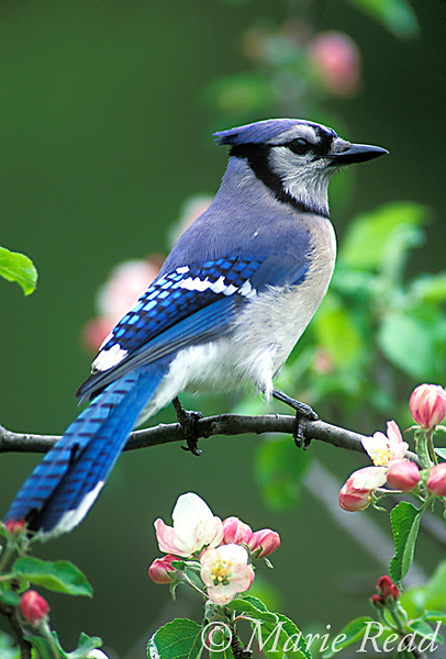 Blue Jay (Cyanocitta cristata) perched amid apple blossom in spring, New York, USA<br /> Slide # B117-14