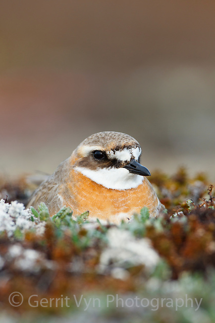 Female Lesser Sand Plover (Charadrius mongolus) incubating eggs on the nest. Chukotka, Russia. June.