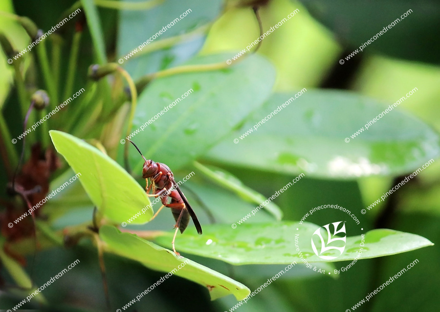 A Bee balancing on a leaf - Free Stock Photo.