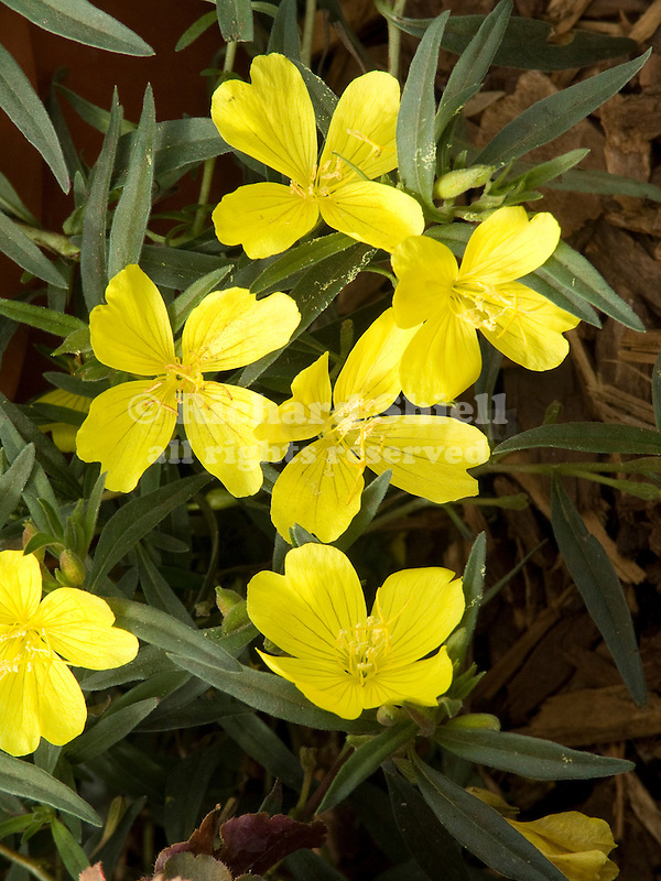 Lemon Drop Evening Primrose Oenothera hybrid