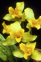 Lycaste macrobulbon, Colombian orchid species