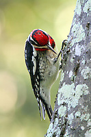 Red-naped sapsucker adult male