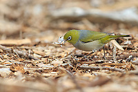 Silver-eye (Zosterops lateralis pinarochrous) foraging on Kangaroo Island, South Australia, Australia.