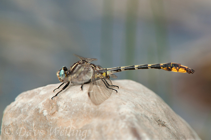334080001 a wild pronghorn clubtail dragonfly gomphus graslinellus perches on a white rock along the sabinal river in lost maples state natural area bandera county texas united states