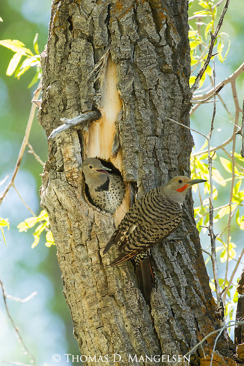 A male Northern flicker perches near the nest hole to feed his nestlings in a cottonwood tree in Grand Teton National Park, Wyoming.