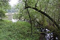 Naturnahe Uferzone an einem Tümpel in Nord-Deutschland mit umgebrochener Weide, Salix spec., urwüchsig, Totholz, Auwald, Auenwald