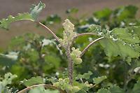 Elb-Spitzklette, Ufer-Spitzklette, Uferspitzklette, Elbe-Spitzklette, Xanthium albinum, Xanthium albinum subsp. albinum, Cocklebur