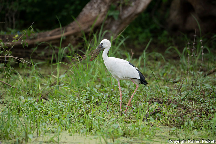 Asian Openbill Stork, Anastomus oscitans, Yala National Park, Sri Lanka, adults have a gap between the arched upper mandible and recurved lower mandible beak