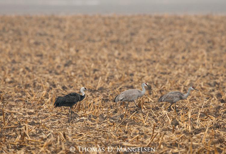 A hooded crane follows two sandhill cranes in a cornfield near the Platte River in Nebraska.