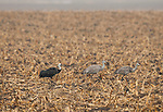 A hooded crane follows two sandhill cranes in a cornfield near the Platte River in Nebraska.