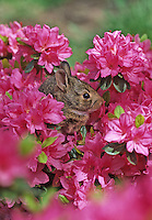 Baby Eastern Cottontail Rabbit, in a flowering Azelea bush, New Jersey
