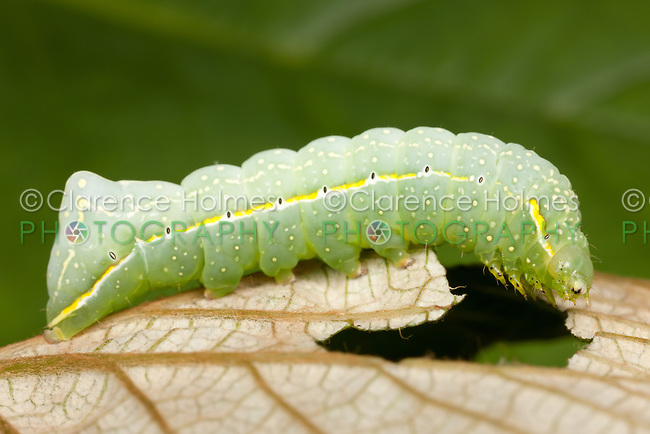 A Copper Underwing Moth (Amphipyra pyramidoides) caterpillar (larva) feeding on a wild grape leaf, West Harrison, Westchester County, New York