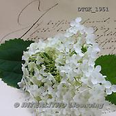 Gisela, FLOWERS, BLUMEN, FLORES, photos+++++,DTGK1951,#f#