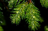 Detail of raindrops on Eastern Hemlock, Tsuga canadensis, in the Siamese Ponds Wilderness Area in the Adirondack Mountains in New York satet