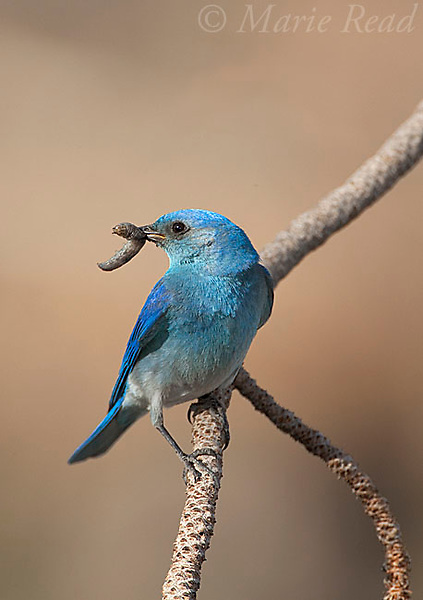 Mountain Bluebird (Sialia  currucoides) male with food (caterpillar) for young in its bill, Mono Basin, California, USA