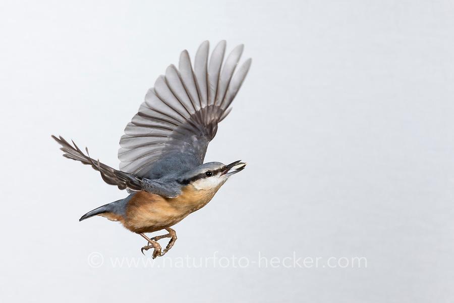 Kleiber, Spechtmeise, im Flug, Flugbild, fliegend, mit Vogelfutter im Schnabel, Sitta europaea, Nuthatch, Eurasian nuthatch, wood nuthatch, flight, flying, Sittelle torchepot