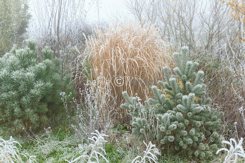 givre sur un jeune pin sylvestre (droite), Pinus sylvestris, et pin parasol (gauche), Pinus pinea et Miscanthus // frost on young Scots pine , Pinus sylvestris (right), stone pine (Pinus pinea) (left) and Miscanthus