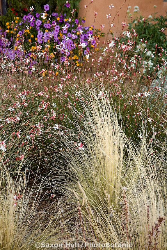 New Mexico xeriscape garden with perennial Gaura lindheimeri and Threadgrass (Nassella tenuissima)