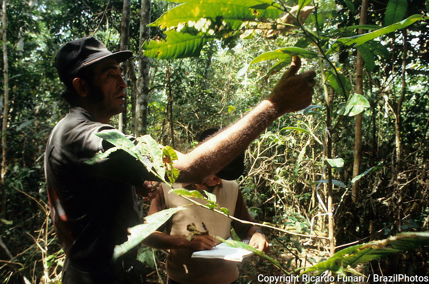 Reforestation in Amazon rain forest -  Chico Mendes Extractive Reserve dwellers manage Brazil nut tree growth ( saplings ) - Raimundo Barros, forest people political leader accompanies the work, Acre State, Brazil.