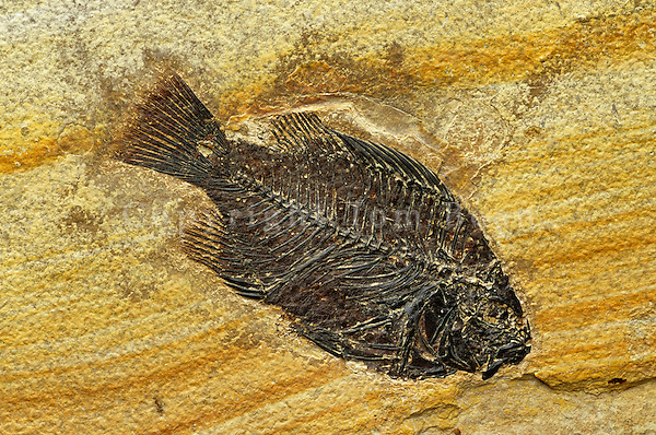 Fossil fish, Eocene Age, Green River Formation, Fossil Lake near Kemmerer, Wyoming.AGPix_0003.
