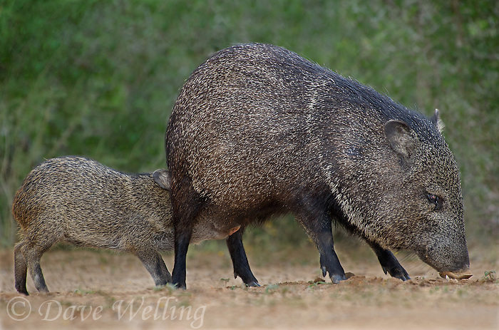 650520330 wild javelinas or collared peccaries dicolytes tajacu forage near a waterhole on santa clara ranch in starr county rio grande valley texas united states