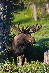 Bull moose in velvet. Snowy Range Mountains, Wyoming.