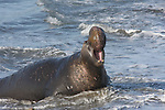 Bull elephant seal trumpets at Ano Nuevo State Park