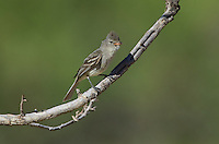 584750005 a wild northern beardless tyrannulet camptostoma imberbe perches on a mesquite branch in the madera grasslands green valley arizona united states