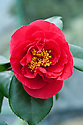 Camellia 'Satan's Robe', glasshouse, early February.