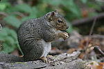 gray squirrel at Henry Cowell Redwoods SP    FB 420.  Back small photo.  Crop to square around squirrel