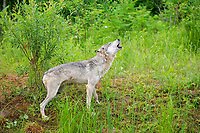 Gray wolf (Canis lupus), adult, howling in meadow, Pine County, Minnesota, USA, North America