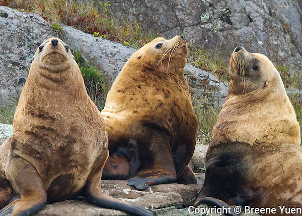 British Columbia Sea Lion Colony