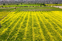 Aerial field view with thousands of yellow flowers in the Cuquiarachic ejido. belonging to the municipality of Fronteras, Sonora. (Photo: LuisGutierrez / NortePhoto.com)..<br /> <br /> Vista aerea de campo con miles de flores de color amarillo en el ejido Cuquiarachic. perteneciente al municipio de Fronteras, Sonora. (Foto: LuisGutierrez / NortePhoto.com)