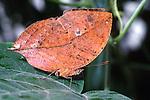Kallima Leaf Butterfly