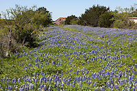 Old country barn stands in fields of Texas Bluebonnet wildflowers