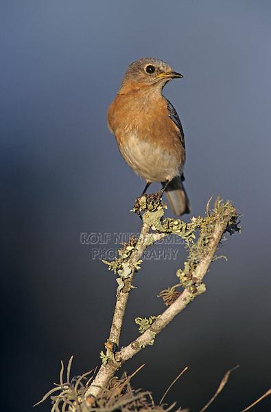 Eastern Bluebird, Sialia sialis, female, Lake Corpus Christi, Texas, USA, April 2003