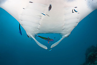 reef manta ray, Manta alfredi, at cleaning station, Hanifaru Bay, Baa Atoll, Maldives, Indian Ocean