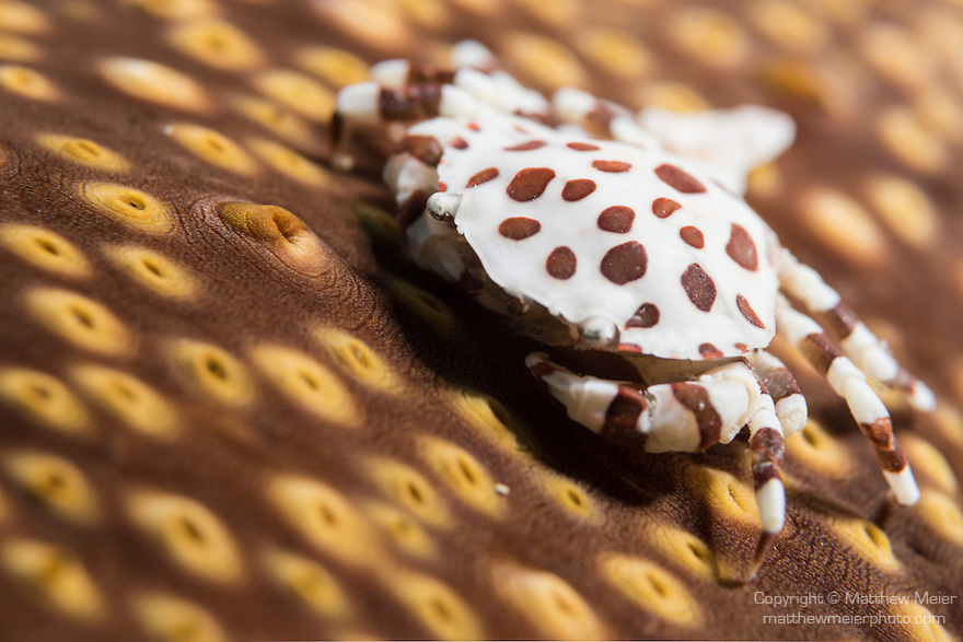 Anda, Bohol, Philippines; a brown and white sea cucumber crab: Lissocarcinus orbicularis, on a brown and yellow sea cucumber