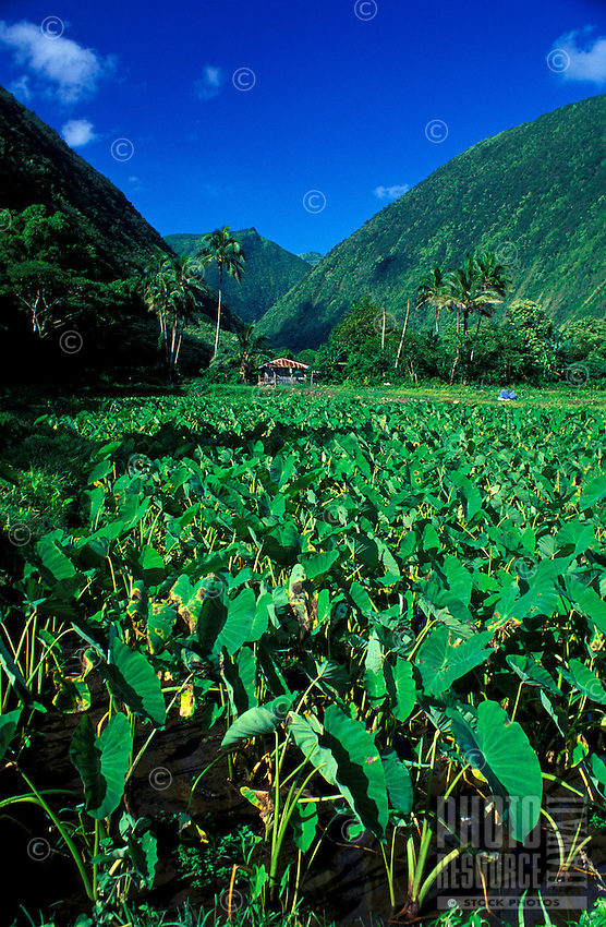 Taro farm in Waipio Valley on the Big Island