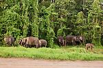 Borneo Pygmy Elephant (Elephas maximus borneensis) herd in secondary lowland rainforest, Kinabatangan River, Sabah, Borneo, Malaysia