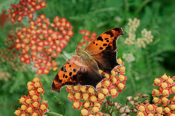 Eastern Comma Butterfly (Polygonia comma) on Yarrow (Achillea millefolium) in backyard garden. Summer. Nova Scotia, Canada.