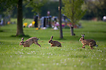 Three hares chasing each other at a cemetery in the North West of England
