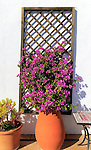 Pretty flowering bougainvillea plant in clay pot on tiled terrace, Vejer de la Frontera, Cadiz Province, Spain